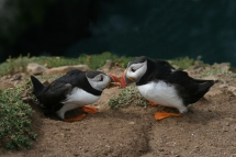 01 Two Puffins Billing